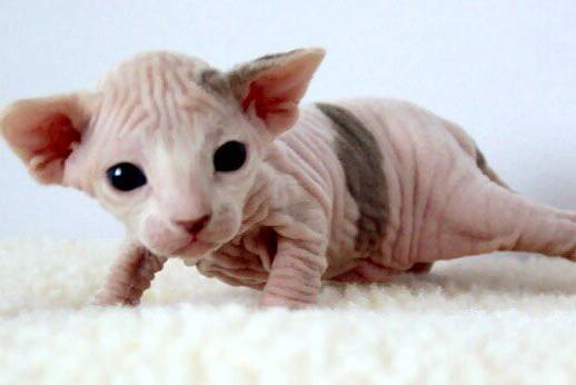 bald cats