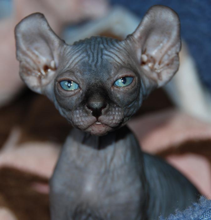bald cat photo