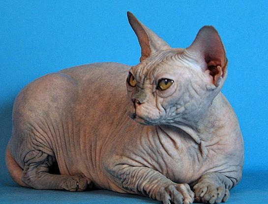 bald cats breed