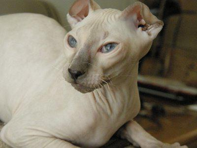 ], breed of bald lop-eared cats