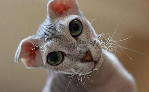 breed of bald lop-eared cats