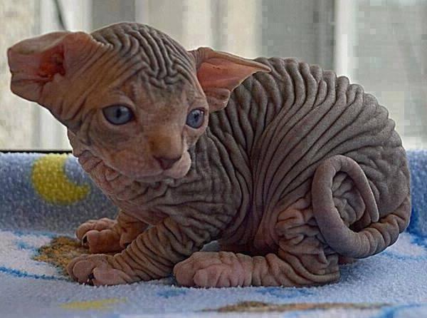 Лапа лысого кота