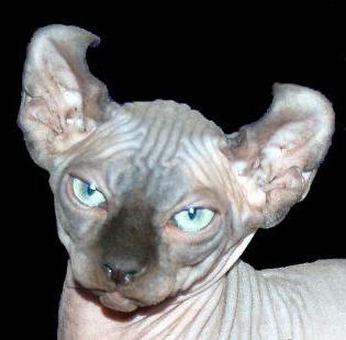 bald cat sphinx photos