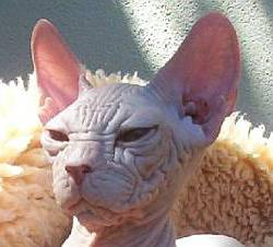 bald cat sphinx photo [