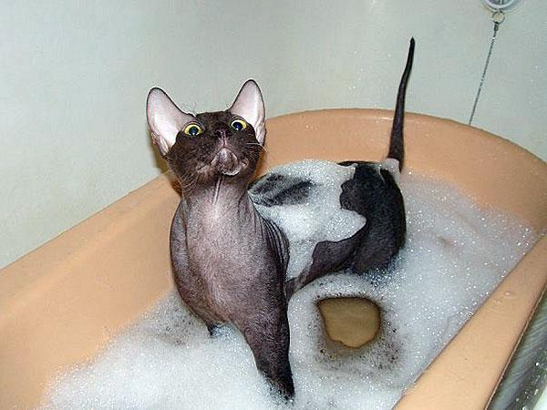 how to wash a bald cat