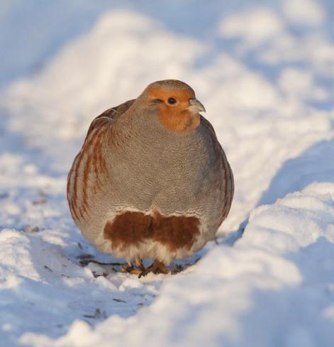 птица серая куропатка