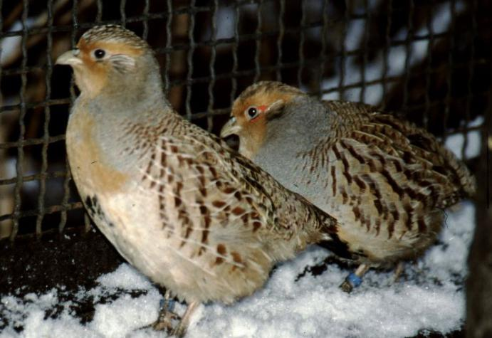 gray partridge at home