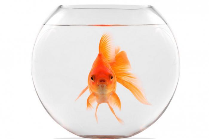 Золотая рыбка в аквариуме. Содержание, размножение :: SYL.ru