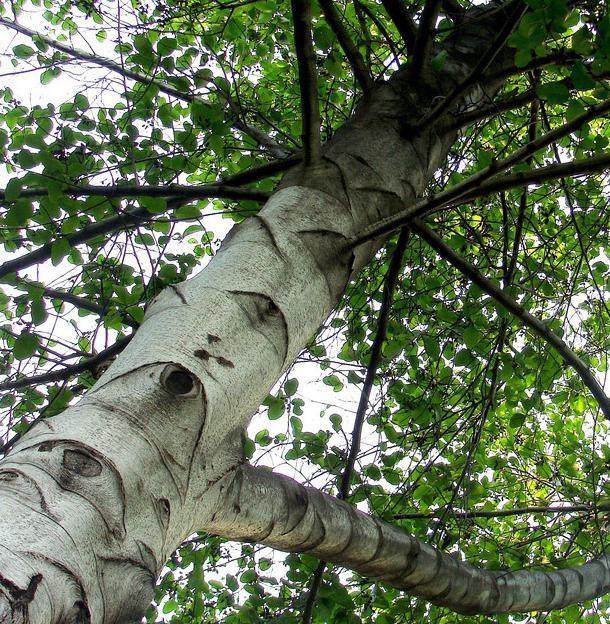 дерево ольха описание фото