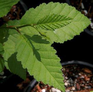 Лечение березовыми листьями