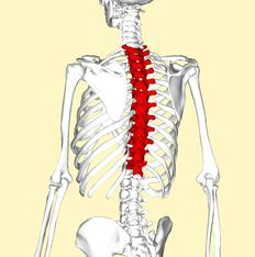 human spine consists of divisions