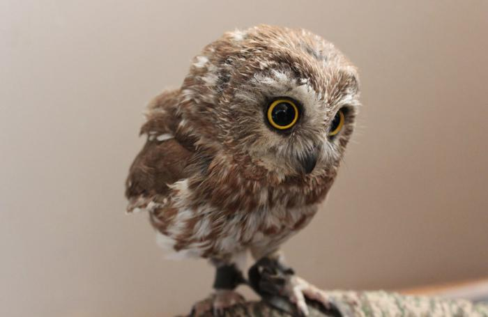 what does it mean when an owl dreams