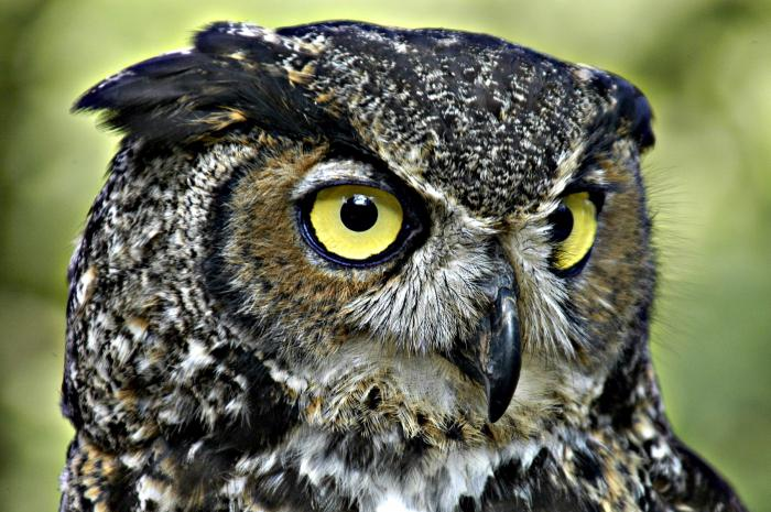 why dream of a big owl