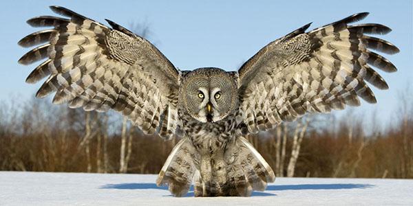 dream owl owl what dreams owl