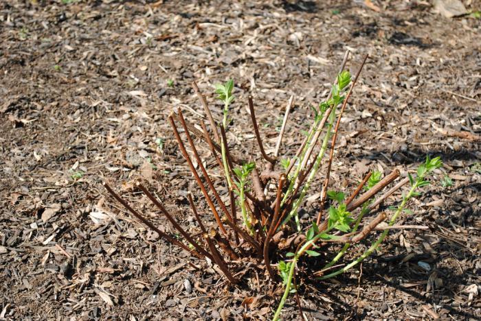 spirea pruning
