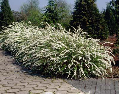 spirea landing and care