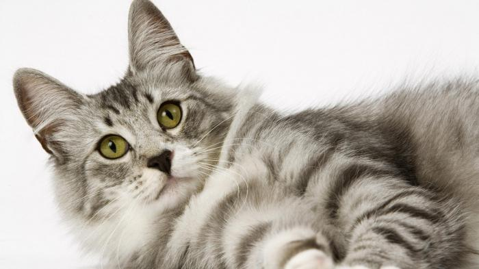 переводчик с русского на кошачий язык