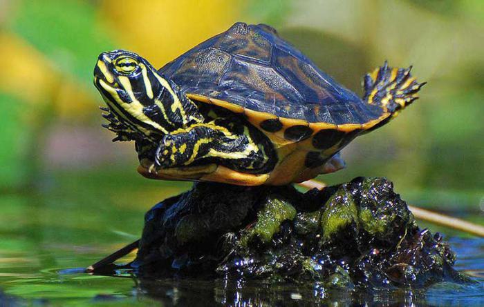 террариум для красноухих черепах своими руками