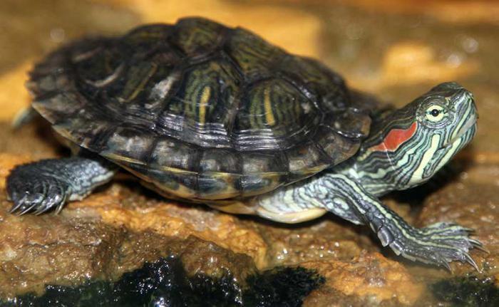 Как сделать террариум для черепах фото 794