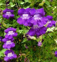 Вьющиеся растения для сада вьющиеся