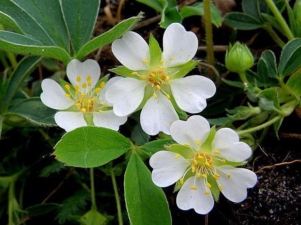 silverweed white root application