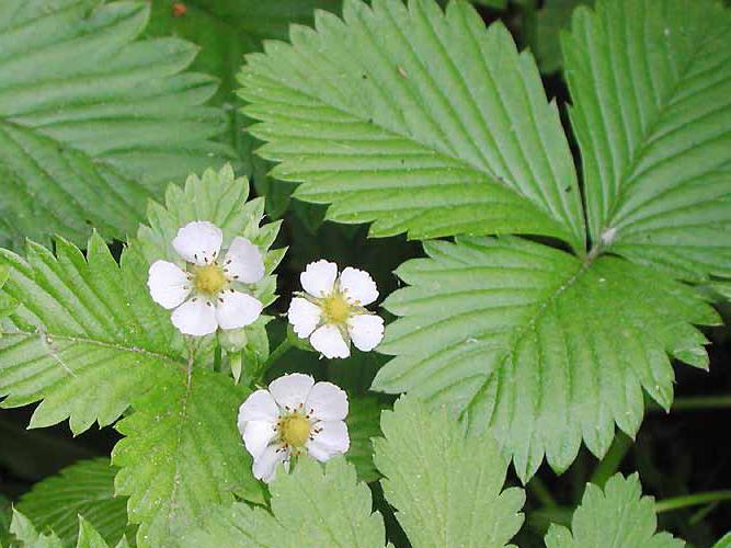 silverweed white root treatment of the thyroid gland