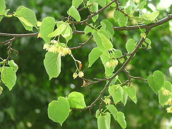 дерево липа фото и описание