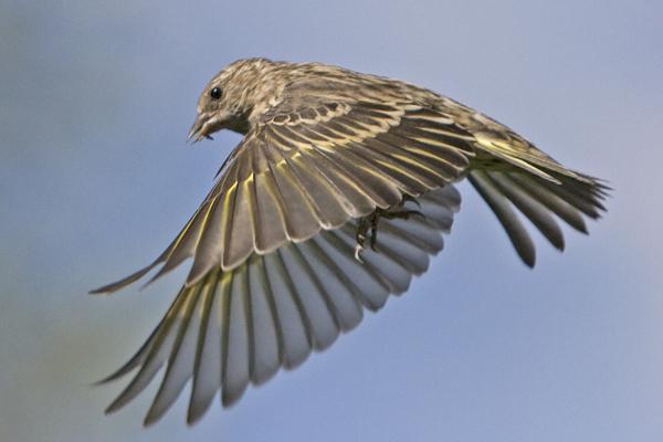 Птица чиж описание
