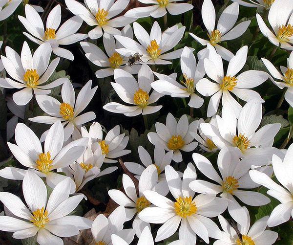 Трава лапчатка белая применение