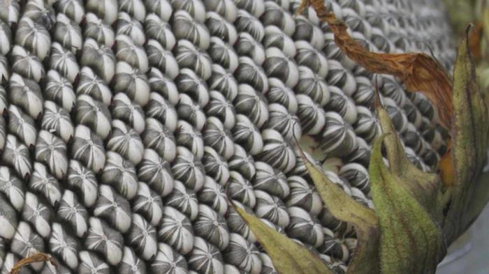 семечки подсолнуха от холестерина народными средствами