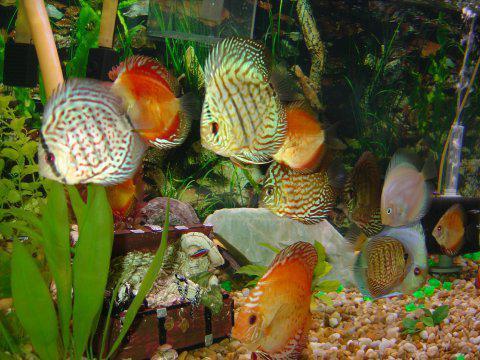 discus fish aquarium content