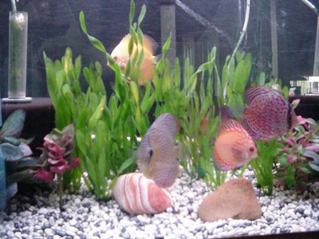 discus fish content