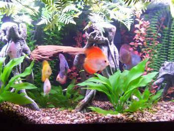 discus fish contents
