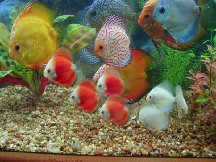 content of discus in an aquarium