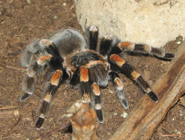 tarantula description
