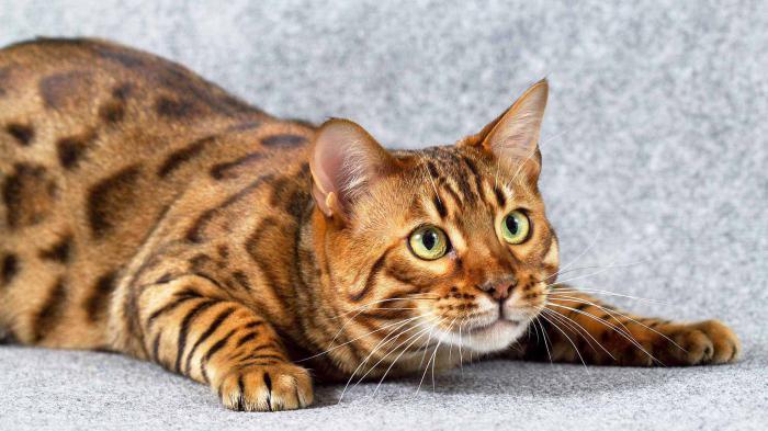 bengal cat reviews