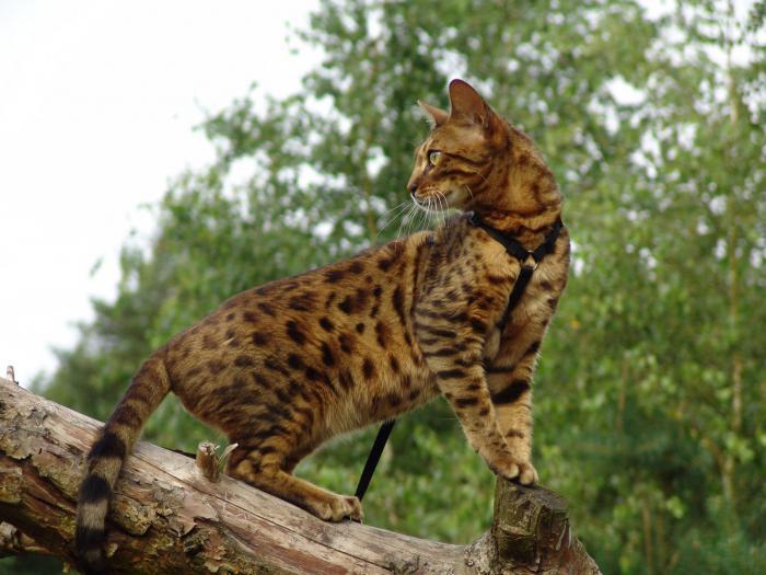 Bengal cat home photo