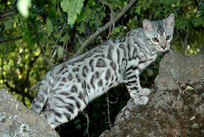 Bengal cat domestic [
