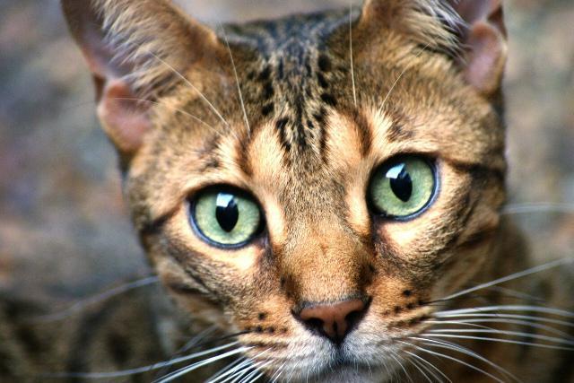 bengal cat character