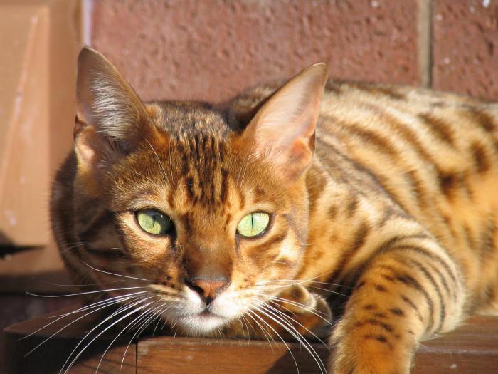 cat breed Bengal photo