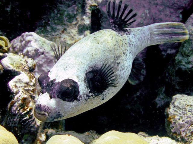 рыба-собака фото