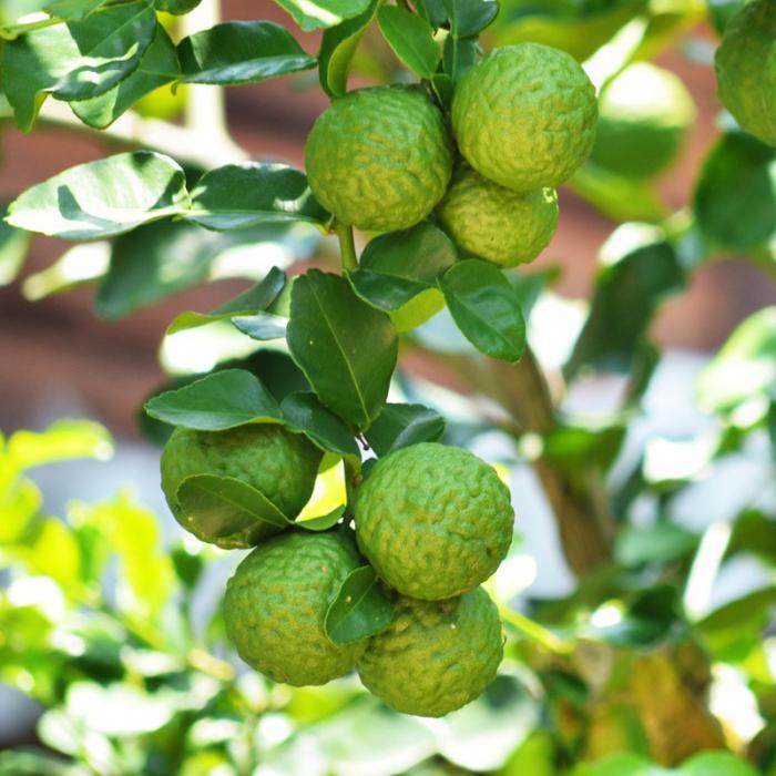 Масло бергамота свойства и применение