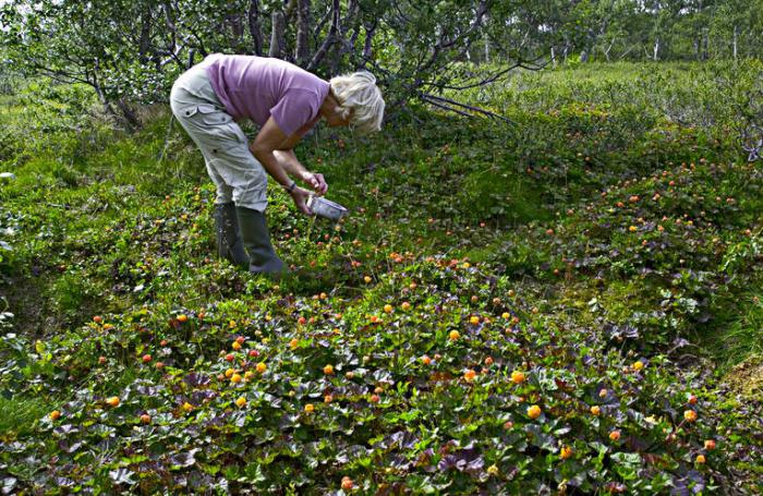 cloudberry berry cultivation