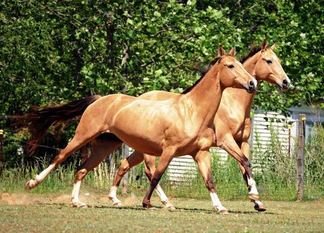 Выращивание ахалтекинских лошадей