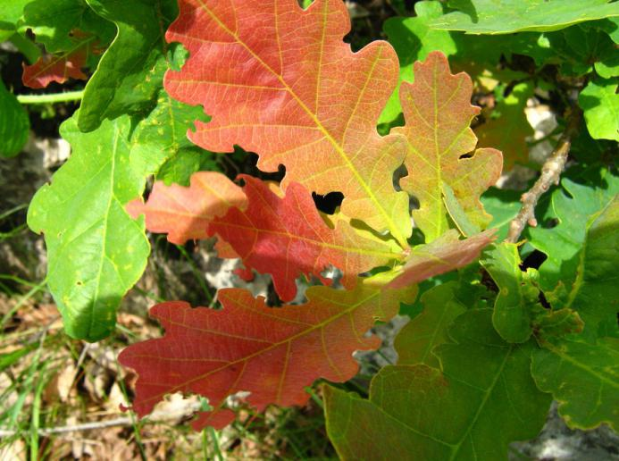 Oak leaf, maple leaf