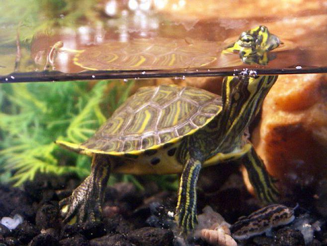 Красноухие черепахи в домашних условиях 677