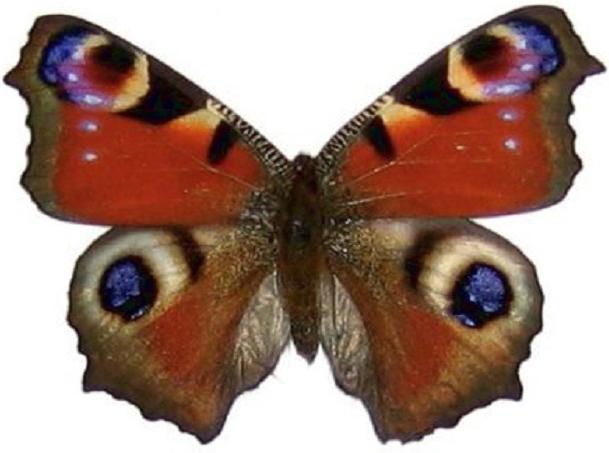 бабочка павлиний глаз факты