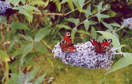 ночной павлиний глаз бабочка