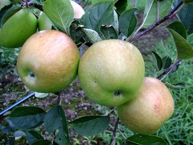 Bunin Antonov apples content