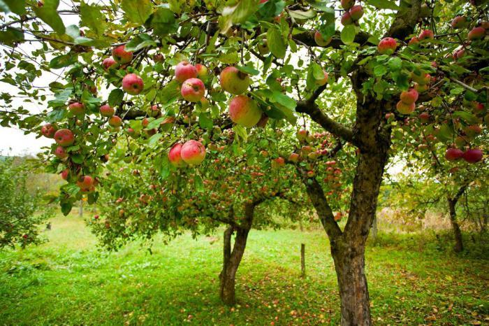 Ivan Bunin Antonov apples